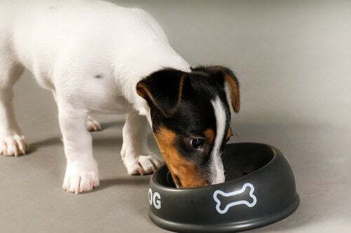 Hvorfor noen hunder ikke tygger maten ordentlig