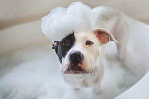 Hund i badekar med såpeskum på hodet