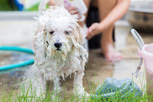 Hund blir badet ute av eieren sin