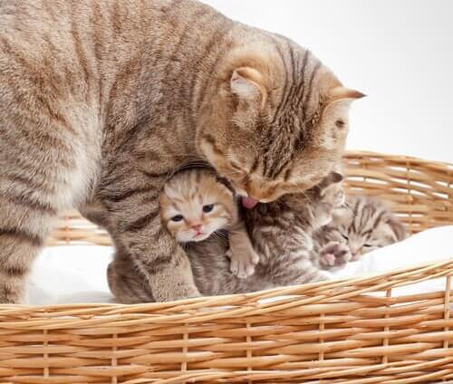 Når katter føder: 6 bekymrende symptomer