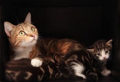 Fødsel hos katter kan kreve en tur til veterinæren.