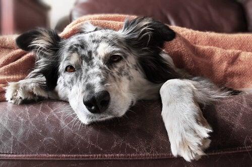 10 trinn for å stoppe hundens diaré