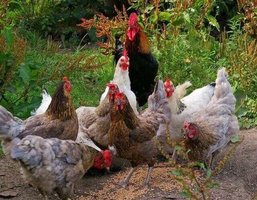 En gruppe forskjellige raser av kyllinger.