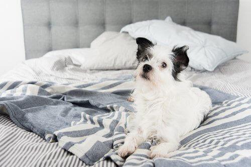 En hund på en seng.