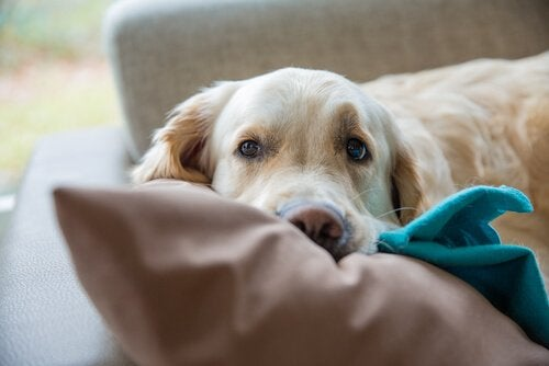 En hund som ligger på sofaen.