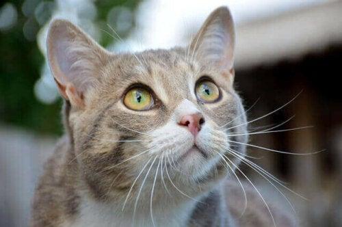 En nærbilde av en katt som ser opp.