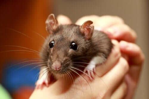 En person som holder en rotte i hendene.
