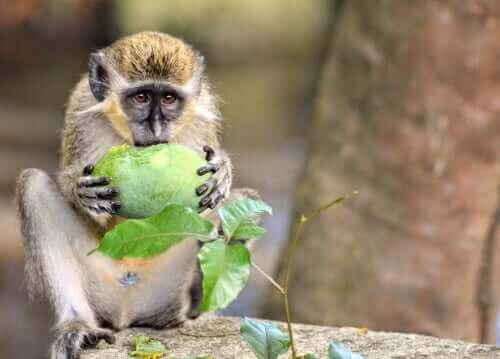 Grønne aper (chlorocebus sabaeus) og deres anti-drone-alarm