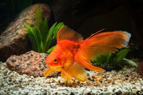 Gullfisk i et akvarium.