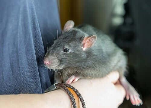 Hvordan ville du like å ha en rotte som kjæledyr?