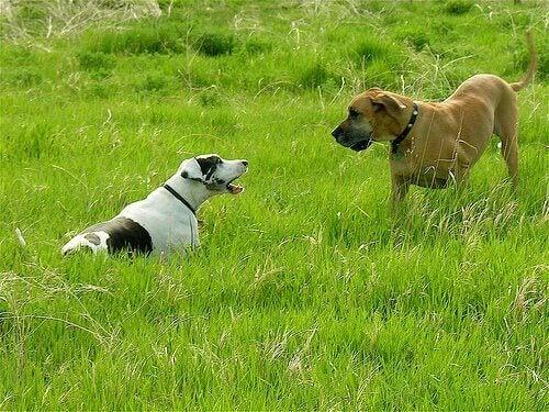 To hunder konfronterer hverandre.