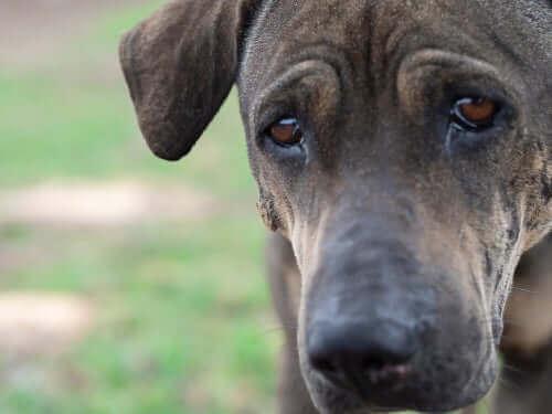Kan hunder gråte slik som mennesker?