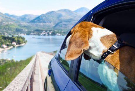 En hund i en bil