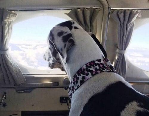 Hund i fly