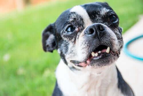 Tannkjøttsykdom og manglende tenner hos eldre hunder