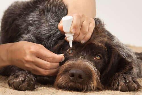 Øyeinfeksjoner hos hunder - Årsaker og behandling