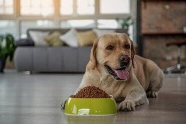 En hund med en skål med tørrfôr