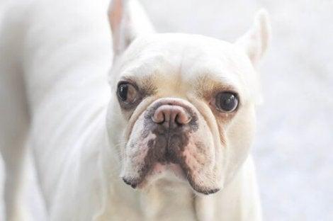 En hund med det ene øyeeplet som ser til venstre