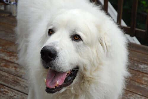 Alt om den fantastiske hunderasen pyreneerhund
