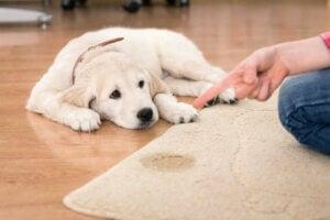 Hund som får kjeft for å ha tisset på teppet