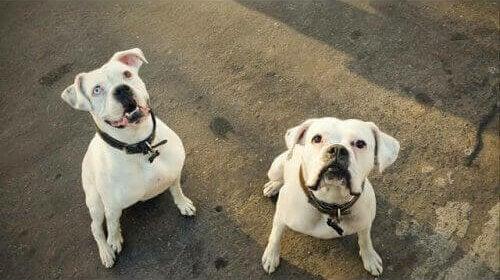 Boxer-hunden som fant et nytt hjem