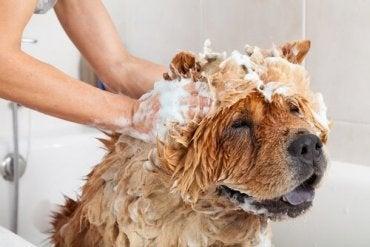 Vask en stor hund.