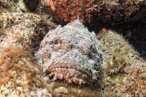 Den giftige steinfisken, en mester i å kamuflere seg