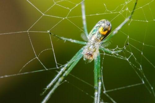 En frukthage-edderkopp i nettet.