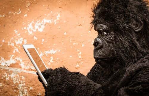 En gorilla som bruker en mobiltelefon.