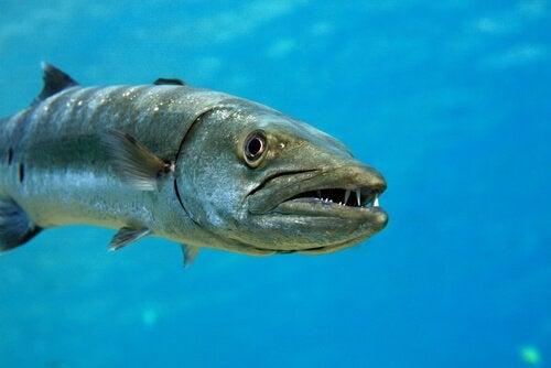 Barrakuda: en aggressiv og uforutsigbar fisk