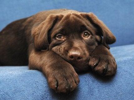 En hund i sofaen