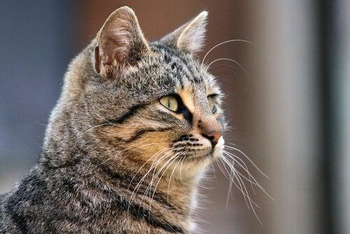 Lær alle hemmelighetene om kattens værhår