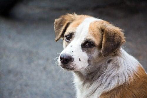 Tegn på at hunden din har smerter