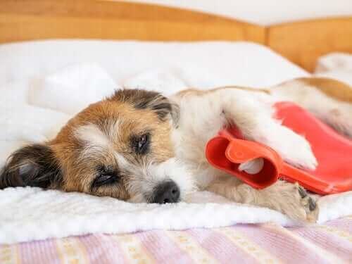 Magesmerter hos hunder: Tegn og symptomer