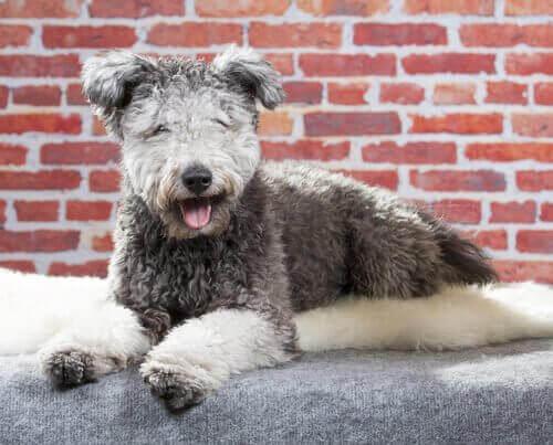 Møt hunderasen pumi: En kjærlig gjeterhund