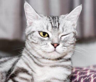En katt som lider av et av øyeproblemene hos katter