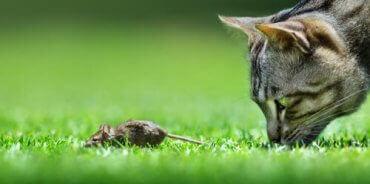 En katt som bruker værhår på forbena mens de jakter en mus.