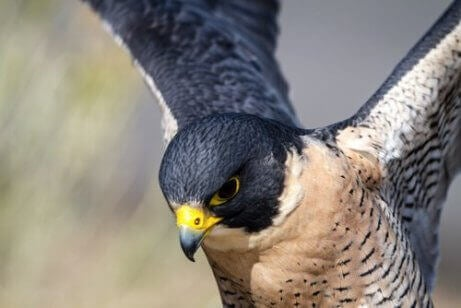 Falken har godt syn