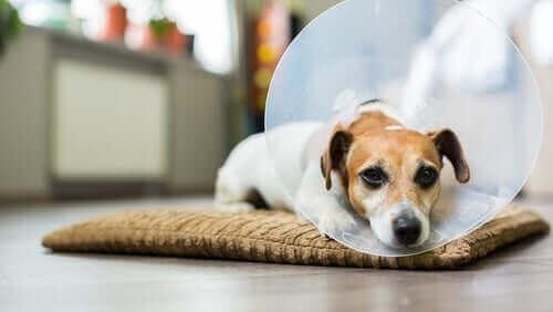 Slapphet hos hunder
