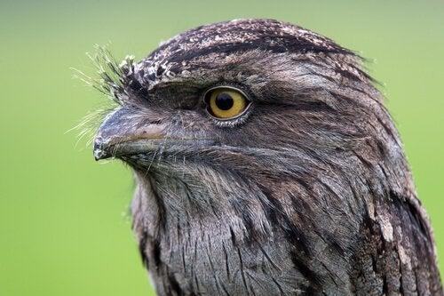 Fuglen uglefroskemunn: Alt du burde vite
