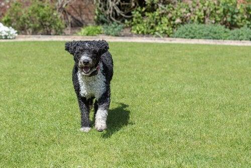 Dette er en spansk vannhund.