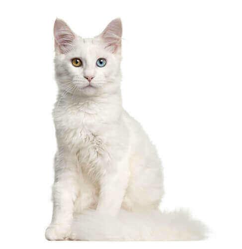 En døv katt med et blått og et brunt øye.