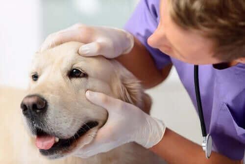 En hund som får øynene sjekket.