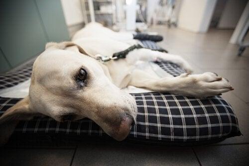 En hund som ligger i sengen sin.