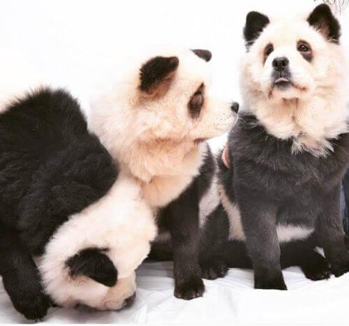 Panda chow-chow: Er det en hund eller en panda?