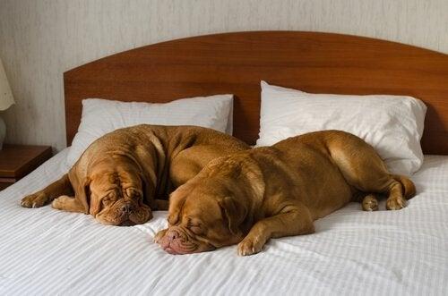 To hunder som sover på en seng.