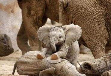 Babyelefanter som leker