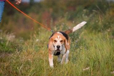 En beagle som går i en eng