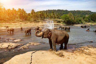 Elefanter som bader i naturen
