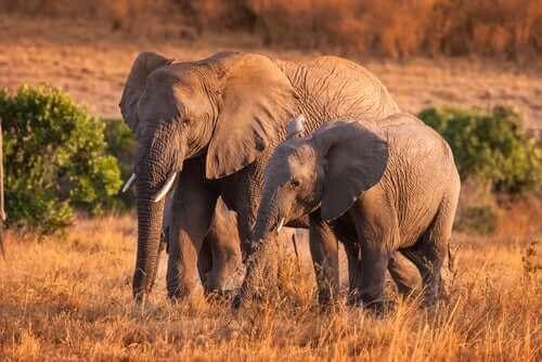 Interessante fakta om atferden til ville elefanter
